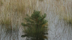 Small pine tree in puddle + zoom out Veluwe landscape - stock footage
