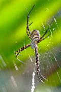 spider, argiope bruennichi - stock photo