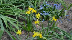 Blooms of yellow narcissus flower move spring wind blue flowers Stock Footage