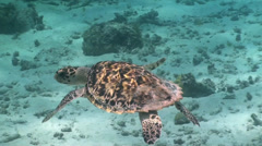 Big sea turtle, Curacao Stock Footage