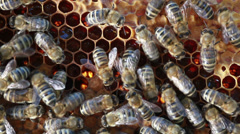 Bees swarming on a honeycomb Stock Footage