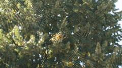European garden spider runs in web towards prey entangled in the web Stock Footage