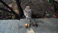 Curious kitten, follows a smell and finds food in a garden Stock Footage