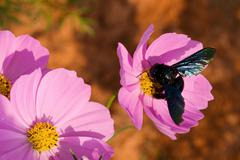 Cosmos flowers and bee Stock Photos