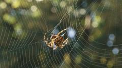 European garden spider wraps prey in silk Stock Footage