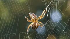 European garden spider wraps prey in silk and moves to hiding Stock Footage