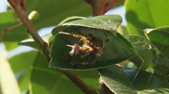 European garden spider with wrapped prey between leaves. Stock Footage