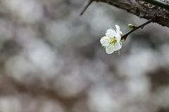 white blossoms in the spring for adv or others purpose use - stock photo