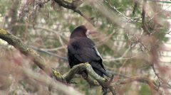 Black crow sitting on branch of dry wood Stock Footage