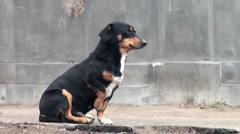 Black stray dog sitting on the sidewalk backyards Stock Footage