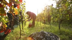 Stock Video Footage of Young woman picking grapes on the vineyard during the vine harvest