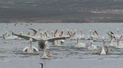 Fishing pelicans in the lake Stock Footage