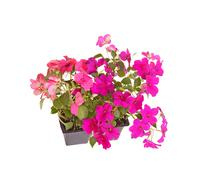pack of pink and purple impatiens seedlings ready for transplanting - stock photo
