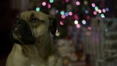 4K Ultra HD - Adopted/Rescued Dog in front of Christmas Tree. Stock Footage