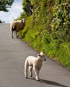 Lambs playing on road Stock Photos