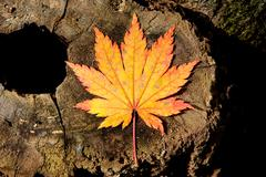 Stock Photo of yellow maple leaf