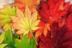 warm maple leaves - stock photo