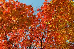 red leaf tree - stock photo