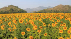 Sunflowers06 Stock Footage