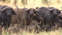 Wildebeest up close Stock Footage