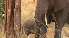 Elephant nursing Stock Footage