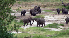 Elephant bullied by winner of tug of war Stock Footage