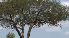 Leopard watching for prey Stock Footage