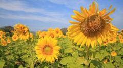 Sunflowers03 Stock Footage