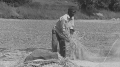 Harvesting paddy - stock footage