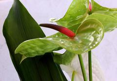 Anthurium Stock Photos