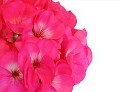 Red pink geranium Stock Photos