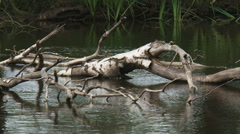 Birch tree trunk in swamp. Hydrosere or primary succession Stock Footage