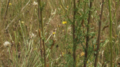 Ragworth with Cinnabar moth caterpillars, Tyria jacobaeae. Stock Footage