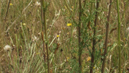 Stock Video Footage of Ragworth with Cinnabar moth caterpillars