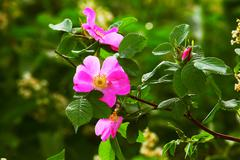 leaves wild rose pink summer flower green background wallpaper - stock photo