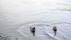 Pair mallard duck on lake Stock Footage