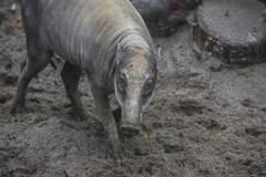 Visayan warty pig Stock Photos