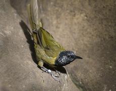 Oriole warbler - hypergerus atriceps Stock Photos