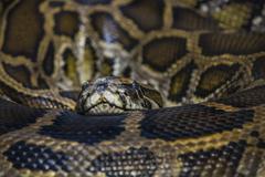 African rock python looking towards the camera Stock Photos