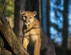 mountain lion - stock photo