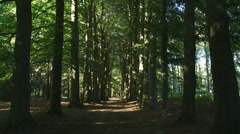 Beech avenue in forest - tilt up Stock Footage