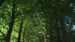 Beech avenue in forest - tilt down Stock Footage