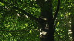 Beech tree, foliage, zoom out beech avenue in forest Stock Footage