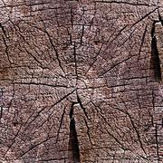 seamless texture oldest tree in the context of the rings - stock photo
