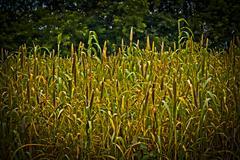 Stock Photo of field of holcus spicatus, bajari, india