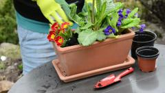 Planting primrose into a balcony flower box Stock Footage