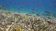 Stock Video Footage of Underwater Staghorn coral reef