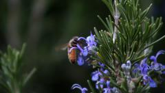 Bee on Rosemary flower Stock Footage