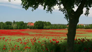 Stock Video Footage of Beautiful Poppy Field - Mecklenburg-Vorpommern - Northern Germany