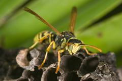 wasp polistes bischoffi  - stock photo